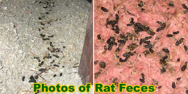 rodent proofing rat control
